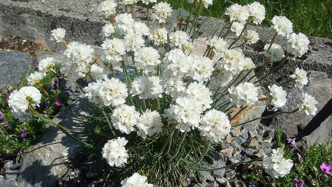 Picture of Live Thrift, Sea Pink (white) aka Armeria maritima 'Alba' Plant Fit 1 Gallon Pot