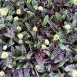 Machovec 'Platts Back' (Leptinella squallida 'Platts Back')