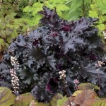 Heuchera 'Black Tafetta' ®