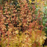 Heuchera 'Ginger Ale' ®