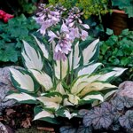 Funkia FIRE AND ICE (Hosta FIRE AND ICE)