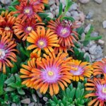 Delosperma 'SUNDELLA ORANGE'