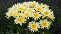 Leucanthemum maximum Banana Cream