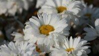 Leucanthemum Victorian Secret