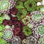Skalná ruža MIX (Sempervivum MIX)